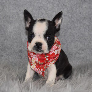 Frenchton Puppy For Sale – Nora, Female – Deposit Only