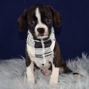 Pita Caviston puppy for sale in PA