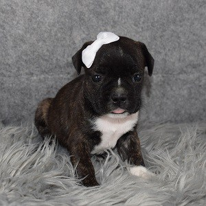 Frenchton Puppy For Sale – Portia, Female – Deposit Only