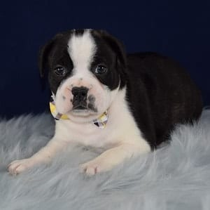 Spud Frenchton puppy for sale in DE