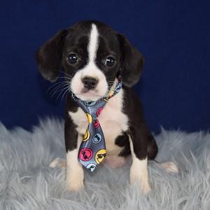 Male Caviston Puppy For Sale Suede Puppies For Sale In Pa Nj Ny Dc Ri