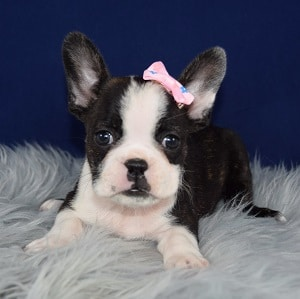 Frenchton Puppy For Sale – Czarina, Female – Deposit Only
