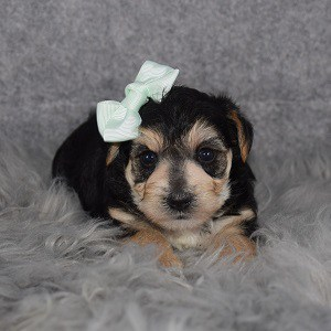 Yorkichon Puppy For Sale – Denali, Female – Deposit Only