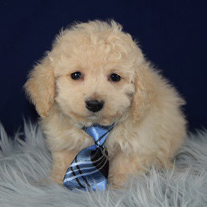 Gingham Havapoo puppy for sale in PA