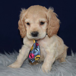 Harrison Cocker puppy for sale in WV