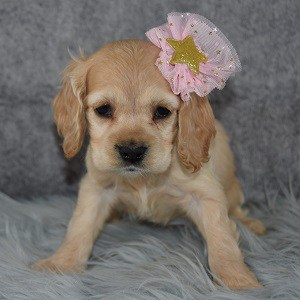 Hazel Cocker pupppy for sale in NJ
