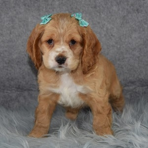 Kodiak Cocker puppy for sale in NJ