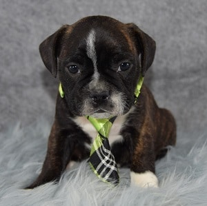 Montgomery Frenchton puppy for sale in NJ