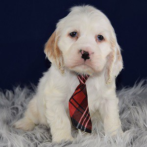 O'Connor Cocker puppy for sale in MD