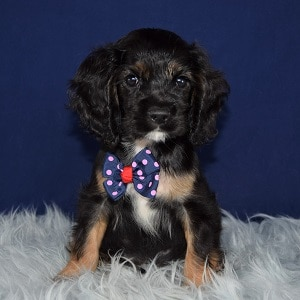 Cocker Puppy For Sale – Oliver, Male – Deposit Only