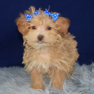 Serene Yorkichon puppy for sale in PA