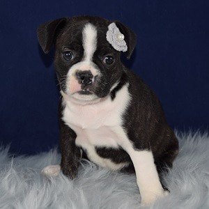 Tater Frenchton puppy for sale in MD