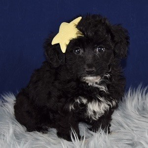 Thyme Yorkichon Puppy For Sale In De Puppies And Pet Supplies