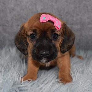 CavaJack Puppy For Sale – Brownie, Female – Deposit Only