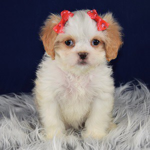 Cindy CavaTeddy puppy for sale in DC