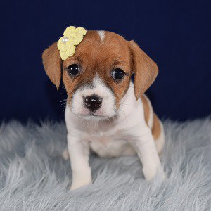 CavaJack Puppy For Sale – Cookie, Female – Deposit Only