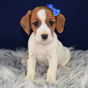 Georgia CavaJack puppy for sale in MD