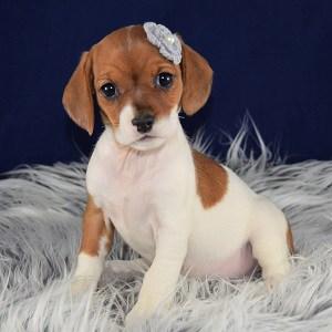 Female Cavajack Puppy For Sale Louisiana Puppies For Sale In Pa Nj De