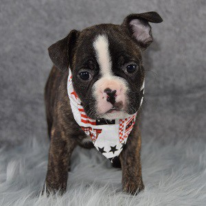 Monterrey Frenchton puppy for sale in NJ