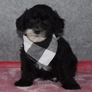 Yorkiepoo Puppy For Sale – Nixon, Male – Deposit Only