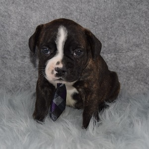 Male Frenchton Puppy For Sale Phinneas Puppies For Sale In Pa Nj Ny