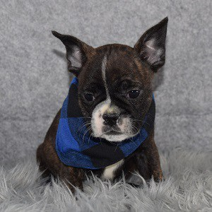 Frenchton Puppy For Sale – Zuma, Male – Deposit Only