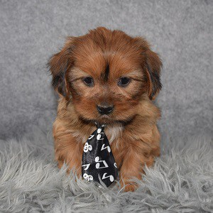 Shihpoo Puppy For Sale – Cameron, Male – Deposit Only