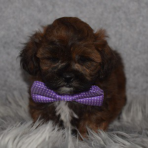 Shihpoo Puppy For Sale – Pie, Male – Deposit Only