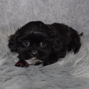 Shihpoo Puppy For Sale – Blaze, Male – Deposit Only