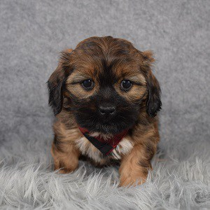 Shihpoo Puppy For Sale – Campbell, Male – Deposit Only