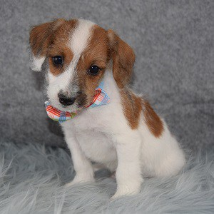 Chip Jackapoo puppy for sale in NJ