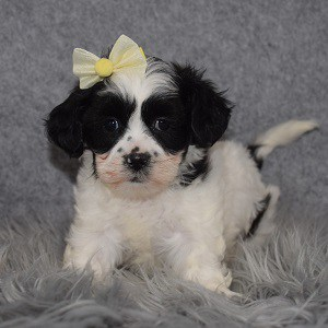 Shihpoo Puppy For Sale – Cupcake, Female – Deposit Only