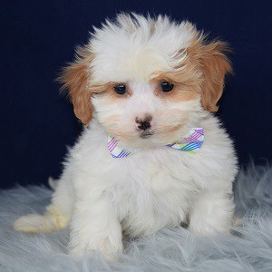 Georgianna CavaTzupoo puppy for sale in MA