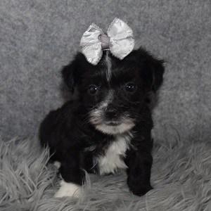 Morkie Puppy For Sale – Kizzy, Female – Deposit Only