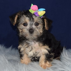 Marilyn Morkie puppy for sale in PA