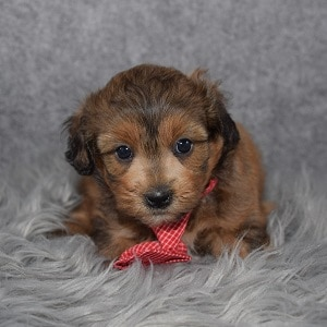 Shihpoo Puppy For Sale – Riyo, Male – Deposit Only