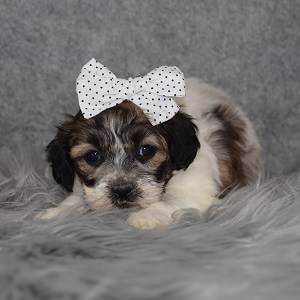 Shihpoo Puppy For Sale – Tasha, Female – Deposit Only