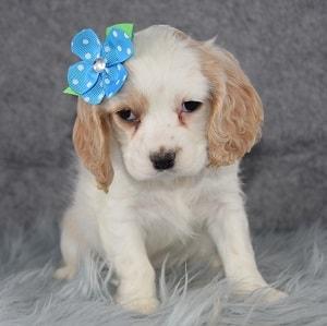 Cockalier Puppy For Sale – Bessie, Female – Deposit Only