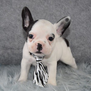 Bolt Frenchie puppy for sale in NJ