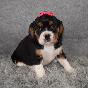 Beaglier Puppy For Sale – Charm, Female – Deposit Only