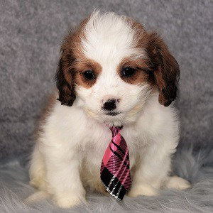 Geo CavaTzupoo puppy for sale in MD