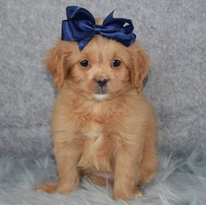Georgia CavaTzupoo puppy for sale in CT