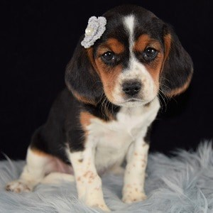 Journey Beaglier puppy for sale in NJ