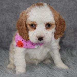 Kacey Cockalier puppy for sale in NJ