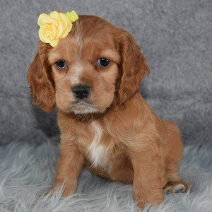 Cockalier Puppy For Sale – Kayley, Female – Deposit Only
