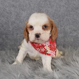 Cockalier Puppy For Sale – Kikka, Female – Deposit Only