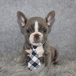 French Bulldog Puppy For Sale – Lambchop, Male – Deposit Only