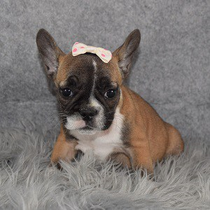 French Bulldog Puppy For Sale – Pippa, Female – Deposit Only