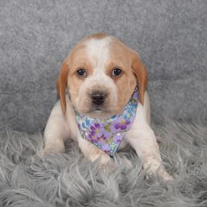 Beaglier Puppy For Sale – Spirit, Female – Deposit Only