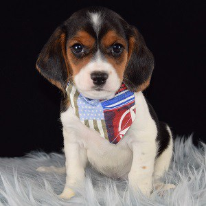 Voyage Beaglier puppy for sale in NY